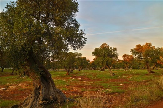One of the ancient olive groves near our workaway