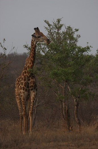 peaceful giraffe at Klaseri Nature Reserve