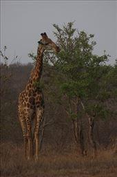 peaceful giraffe at Klaseri Nature Reserve: by joshponzie, Views[109]