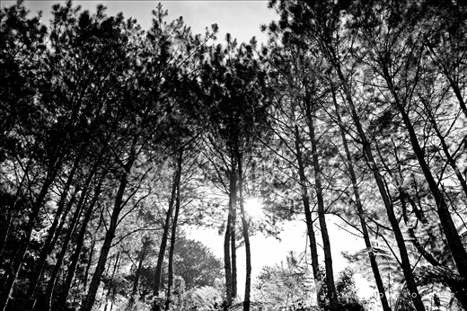These towering pine trees around the cemetery provide cool shade from Sagada's hot afternoons.   Sagada, Mountain Province, Philippines
