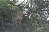 This defeats the myth that you can get away from a lion by climbing a tree!!: by judy, Views[178]