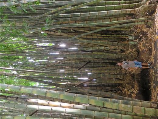 Santa Tecla - Giant bamboo in garden