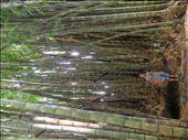Santa Tecla - Giant bamboo in garden: by jugap, Views[195]