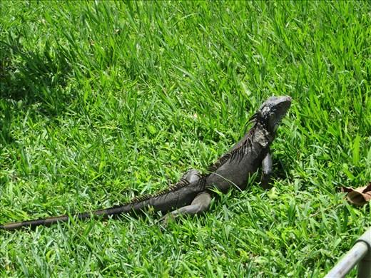Santa Tecla - Iguana