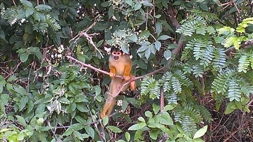 Pampas - monkey