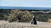 Magellanic Penguin: by jugap, Views[88]