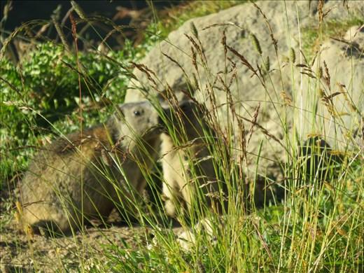 Marmot on hillside below Refugia