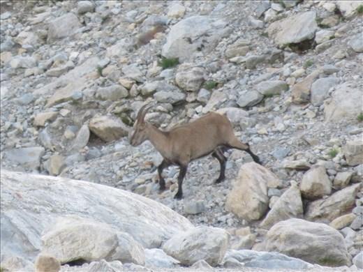Local wildlife at dusk - Steinbok