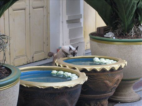 A Siamese cat in Siam