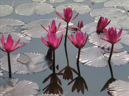 Lotus blossoms, Sukhothai