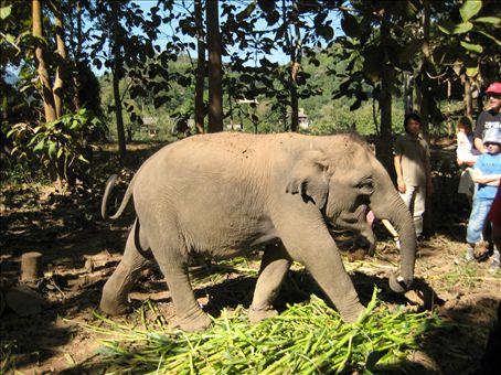 Baby elephant (3 years old)