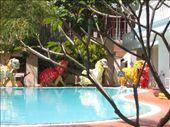 Poolside dragon dance, Tet celebrations in Mui Ne: by justine, Views[551]