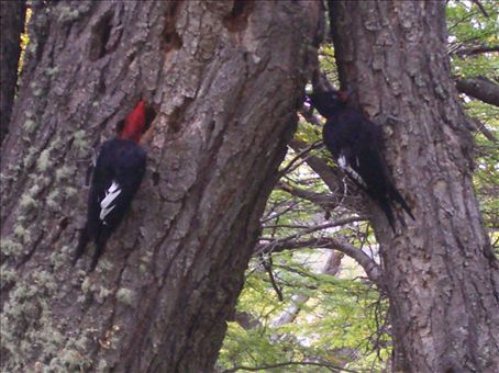 Woodpeckers looking for their lunch