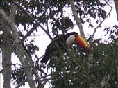 Just as we were leaving the park I noticed two huge orange bills fly past.  The Great Toucan is about a foot and a half long!: by justinzani, Views[214]