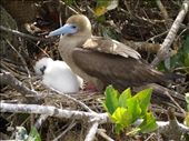 Red footed Booby and chick.  Aw... aren´t they cute?: by justinzani, Views[186]