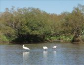 Royal Spoonbills feeding in the lake: by justinzani, Views[183]
