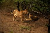 Standing Lioness: Play with me? Pretty Please?                                Sitting Lioness: NO !!!: by jvirani, Views[220]