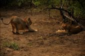 Sitting Lioness: I hope she got the message!                              Standing Lioness: What a lazy sister I have...BUT...: by jvirani, Views[228]