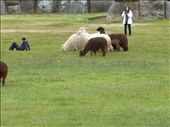 A few alpacas - they are beautiful creatures.: by kabrjb, Views[262]