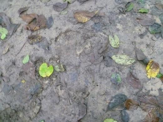 Rhino footprints..