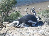 Penguins  - Puerto Madryn