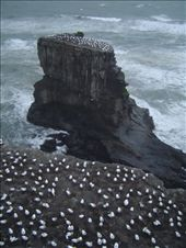 Nesting gannets: by karen-and-erik, Views[204]
