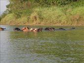 Flere vandboefler (eller det er jo i princippet de samme, vi kunne bare godt li' at tage billede af dem :-): by karen_backpacking_in_asia, Views[122]
