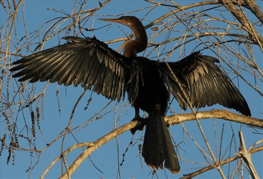 A cormorant dries dew from its feathers at dawn in the Guama lagoon.