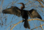 A cormorant dries dew from its feathers at dawn in the Guama lagoon.: by karenemslie, Views[246]
