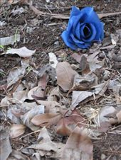 from and to the dust / and with lucky / a blue rose : by karinalerner, Views[159]