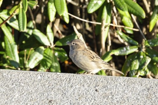 A sparrow expecting people to offer some bread crumbs while at the same time ready to fly to safety in case of danger.
