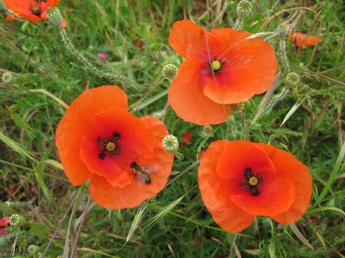 Poppies in the fields.