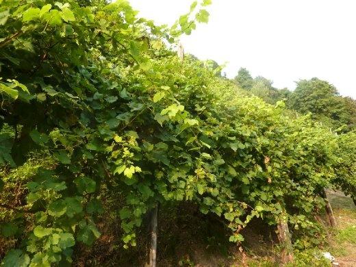 Prosecco vines
