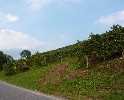 Harvesting grapes in prosecco vineyards