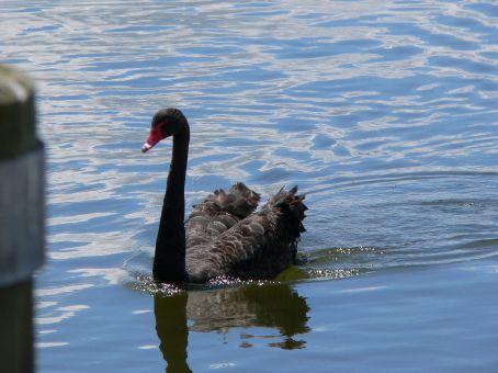 Black swan on Lake Rotorua