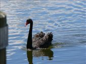 Black swan on Lake Rotorua: by katie_and_eoin, Views[269]