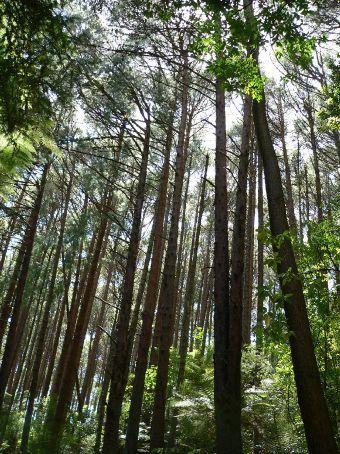 Redwood Pines