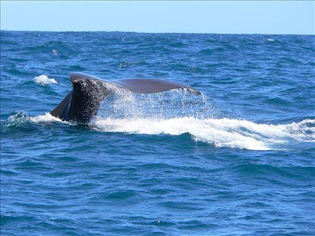 whale in kaikoura