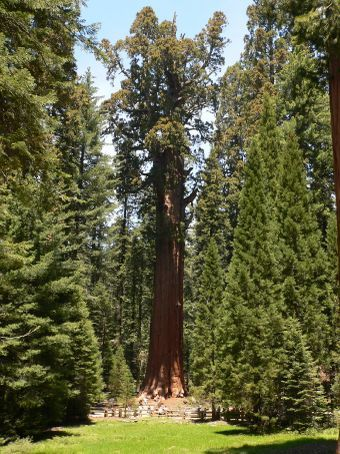 General Sherman Tree - largest living thing on earth, see the people round the bottom