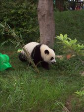 This is the baby pandas much more active!: by katie_rose, Views[160]
