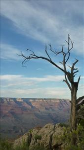 Dead tree in Grand Canyon NP: by katystubbs, Views[48]
