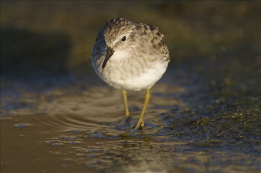 As the intertidal zone becomes exposed, shore birds such as the Least Sandpiper (Calidris minutilla) begin hunting the shores for invertebrates. They are but one link in the food chain supported by the tides of the bay.