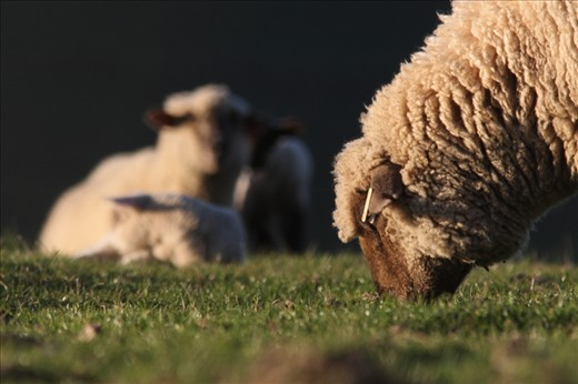 Sheep are found on nearly every continent. Where there are people...