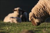 Sheep are found on nearly every continent. Where there are people...: by kayakphotographer, Views[373]