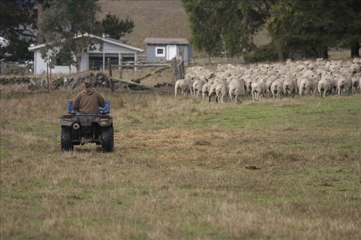 We may develop new aids to sheep ranching, but sheep themselves do not change