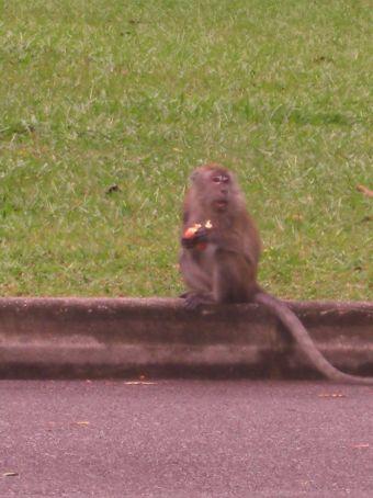 Monkey eating MY apple!!