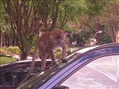 Monkey on dads car!!: by kayleighandhanna, Views[300]