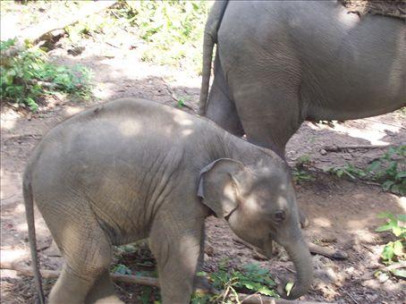 baby elephant, trekking