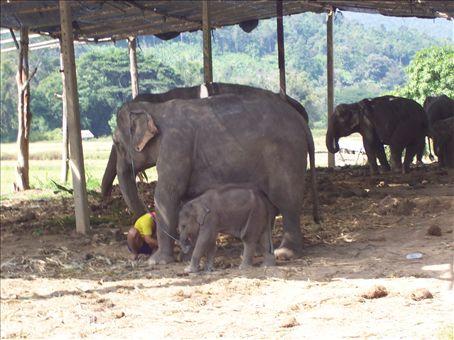 elephants, trekking