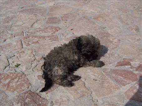 Shoestring dog, 'chilken' (sp?) (turkish for ugly!)